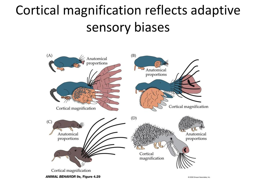 Cortical+magnification+reflects+adaptive+sensory+biases